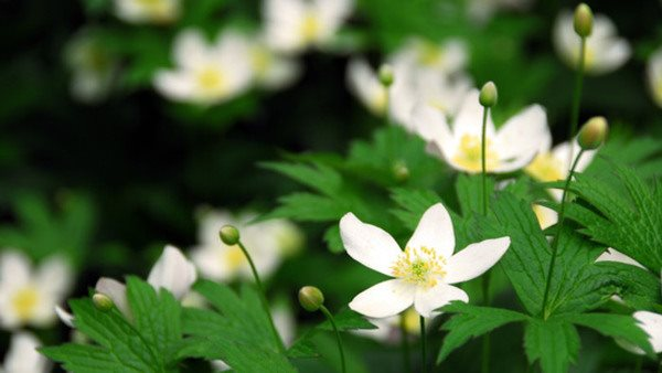 Spring wild flowers wood anemones close up