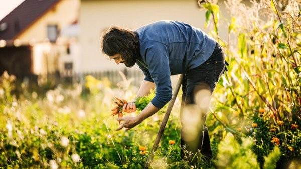 An urban farmer is harvesting a small plot of organic carrots by hand in the afternoon sun.